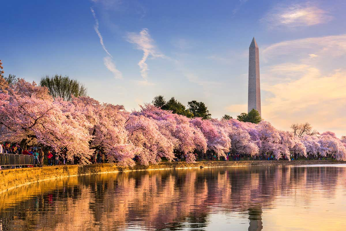 Learn English and Visit the Cherry Blossoms in DC